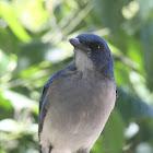Chara azul, Mexican Jay