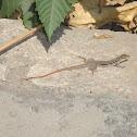 listed lizard