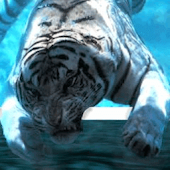 White Tiger under Water Wallpa