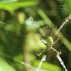 st.andrews cross spider