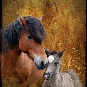 Icelandic horses by Anna Guðmundsdóttir - Animals Horses ( icelandic horses, horses, íslenskir hestar, hestar )