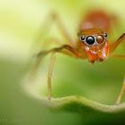 Ant-mimic spider