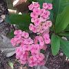 Euphorbia.sp