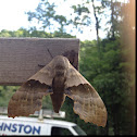Poplar Sphinx Moth