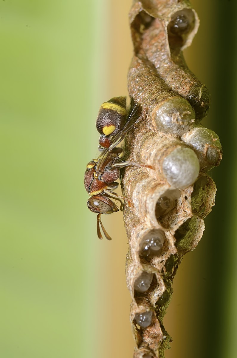 Small Brown Paper wasp