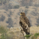 Brown Steppe Eagle