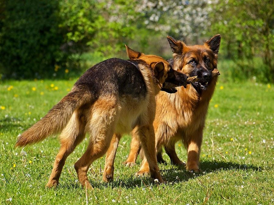 *** by Robert Benčík - Animals - Dogs Playing