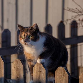 On lookout by Claes Wåhlin - Animals - Cats Portraits ( fence, cat, winter, snow, outside,  )