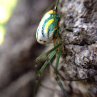 Orchard's Spider
