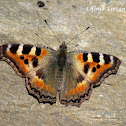 Indian Tortoiseshell