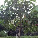 Candlenut/ Kukui Tree