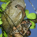 Sunda Colugo (Malayan Flying Lemur)