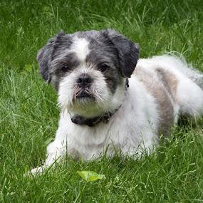 Shih Tzu - 1 by Dave Davenport - Animals - Dogs Portraits ( dogs, dog portrait, shih tzu, dog, small dog,  )