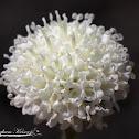 White Pincushion