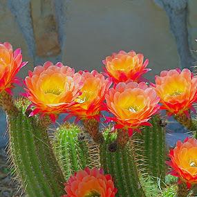 Spring cactus blooms by Robert Marquis - Flowers Flowers in the Wild ( blooms, awards, flowers, spring, cactus,  )