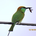 (Little) Green Bee-eater
