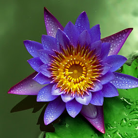 Lovely waterlily by Asif Bora - Flowers Single Flower (  )