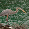Garza azulada (Great Blue Heron)