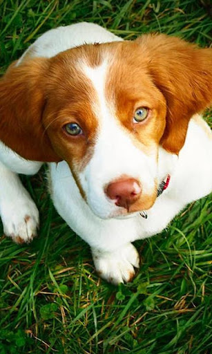 Brittany Spaniel Wallpapers
