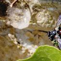 [Cylindromyia bicolor ]