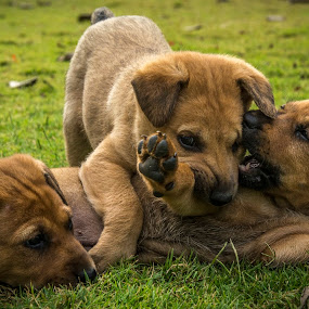 Play with me by Shivaang Sharma - Animals - Dogs Puppies ( puppies, nature, puppy, india, dog, animal )