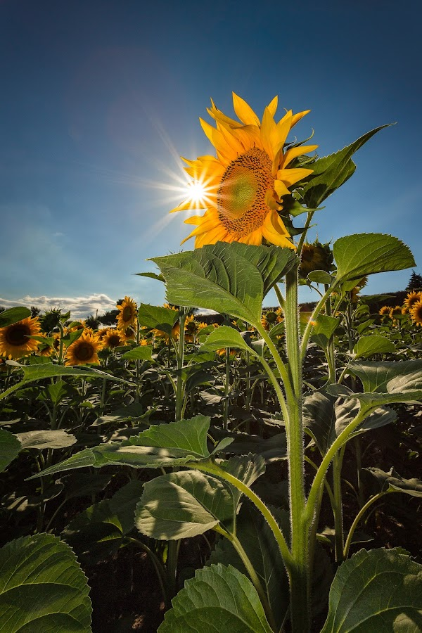 His Majesty the sunflower by Francesco Domesi - Flowers Flowers in the Wild ( relax, gioia, summer, sunflower, relaxing, sole, flower, sun, blu sky, girasole, Hope )