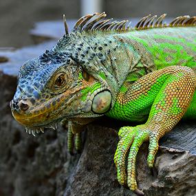 Igun6 by Sigit Purnomo - Animals Reptiles (  )