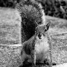 Easter Grey Squirrel by Milton Moreno - Black & White Animals ( squirrels, black and white, easter grey squirrel, outdoors, spring, springtime, rodents, squirrel )