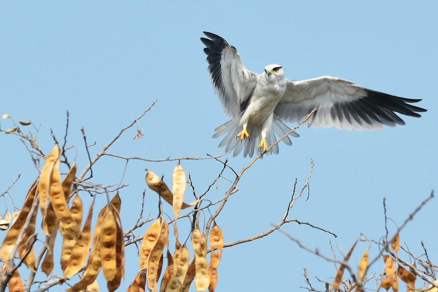 'WIND BENEATH MY WINGS' by Rahul Rallan - Animals Birds ( flight, hyderabad, black-winged kite, taking off, elanus caeruleus, india )