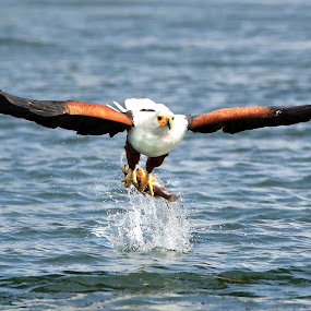 Spot On! by Dave Roberts - Animals Birds ( bird of prey, fish eagle, african eagle )