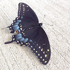 Eastern Black swallowtail ( female)