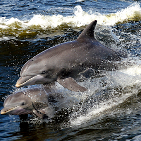 Dolphins playing by Diane Davis - Animals Sea Creatures ( water, dolphins,  )