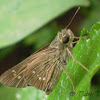[S] Rice Swift skipper
