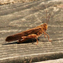 grasshopper with wings