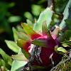 Pitahaya fruta