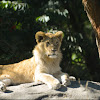 African Lion ♂