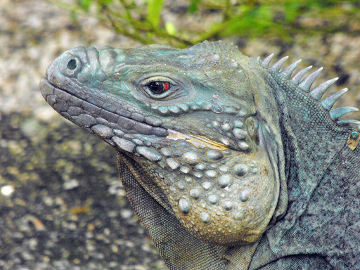 blue-iguana-grand-cayman - A blue iguana at the Queen Elizabeth II Botanical Gardens on Grand Cayman Island.