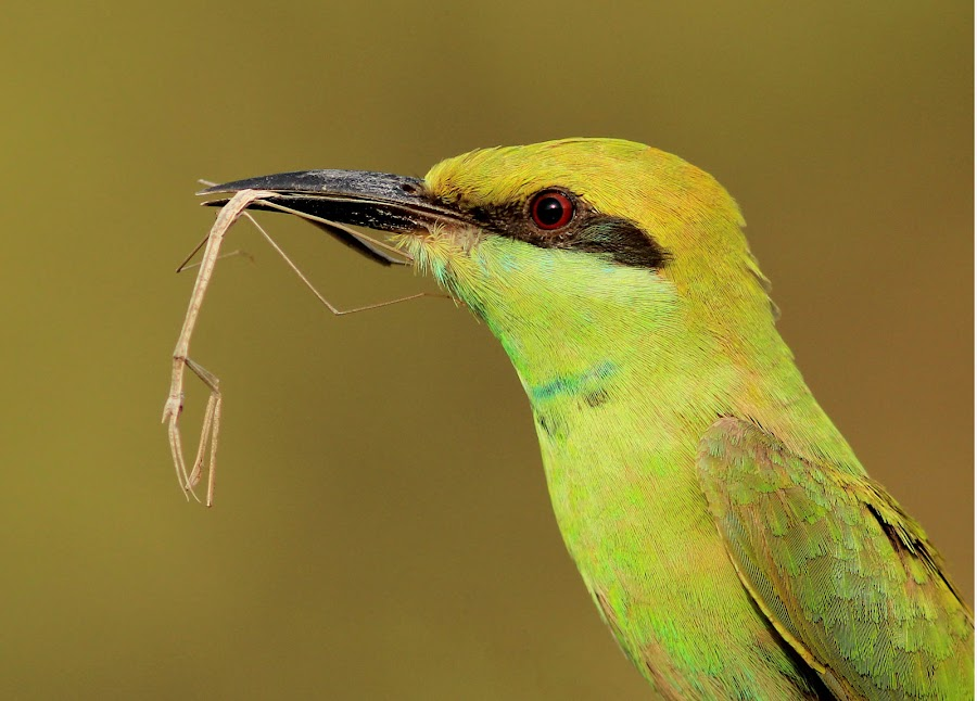 I am on strict oops.... stick diet. by Pradyuman Samant - Animals Birds ( bird, green bee eater, eating, close up, stick insect,  )