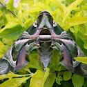 Oleander Sphinx Moth