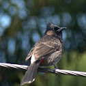 Red vented bulbul