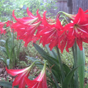 St Joseph's Lily