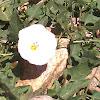 Field Bindweed - Convolvulus arvensis