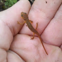 Eastern Red Newt
