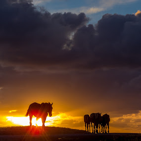 Wild by Veronika Kovacova - Landscapes Sunsets & Sunrises ( clouds, horses, easter island, rapa nui, horizont, sunrise, landscape, golden hour, , #GARYFONGDRAMATICLIGHT, #WTFBOBDAVIS )