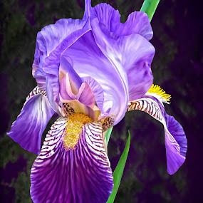 Bearded Iris by Joseph Vittek - Flowers Single Flower ( magenta, iris, green, white, painting style, plant, corm, purple, flower )