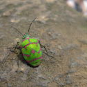 Unknown Shield Bug