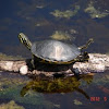 Red Bellied Cooter
