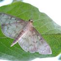 Grass Webworm moth