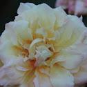 Mrs. Dudley Cross rose