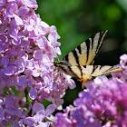 Segelfalter, Scarce Swallowtail